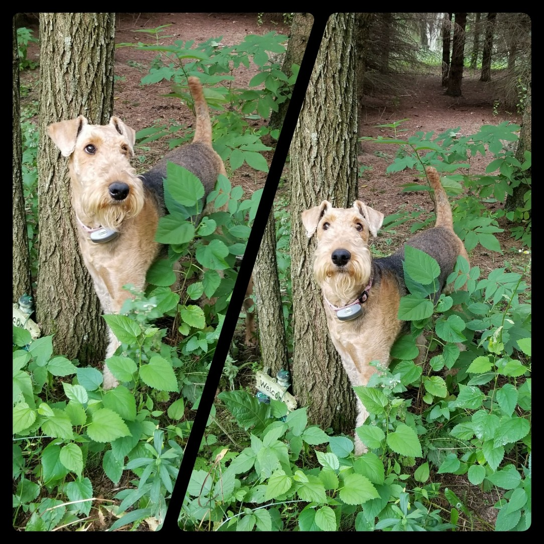 Pinky.AiredaleTerrier